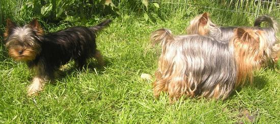 Les Yorkshire Terriers of Meadow Cottage