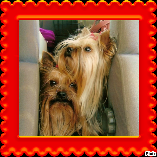 Mes Yorkshire terriers.Photos diverses